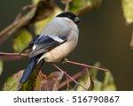 pyrrhula pyrrhula  common... | Shutterstock . vector #516790867