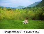 Siberian Husky In Grass Field...