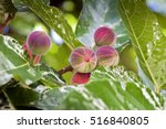 Clown Fig  Ficus Aspera  Tree...