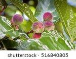 Clown Fig  Ficus Aspera  Tree...