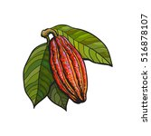hand drawn ripe cacao fruit... | Shutterstock .eps vector #516878107