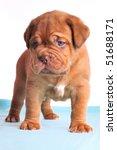 One Month Old Dogue De Bordeau...