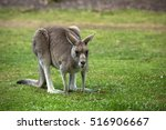 The Eastern Grey Kangaroo...