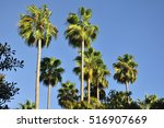 A Grove Of Palm Trees In Irvin...