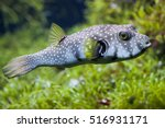 White Spotted Puffer  Arothron...
