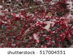 Cotoneaster In The Snow