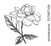 jasmine sambac flower blossom.... | Shutterstock . vector #517007104