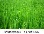 bright green fresh grass... | Shutterstock . vector #517057237