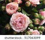 english garden roses   Shutterstock . vector #517063099
