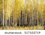 Yellow Birch Forest  Late Autumn