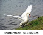 White Swan Gets Out Of The...