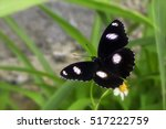 Small photo of Jacintha Eggfly, Beautiful Butterfly in A Garden