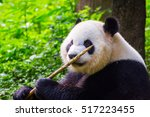 giant panda bear  ailuropoda... | Shutterstock . vector #517223455