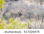 Cautious Zebra Is Standing And...