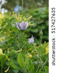Small photo of White African Daisy