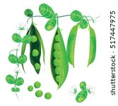 pods of green peas  flowers and ... | Shutterstock .eps vector #517447975