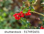 holly plant with its red fruits | Shutterstock . vector #517492651