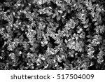flower in black and white  | Shutterstock . vector #517504009