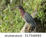 green heron on a log with funny ...   Shutterstock . vector #517548985