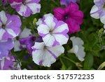 Petunia. Stimoryne. Petunia...