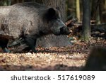 Portrait Of A Huge Wild Boar I...