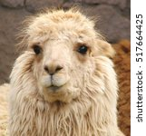 Small photo of portrait of alpaca, closeup