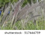 red head fountain grass  closeup | Shutterstock . vector #517666759