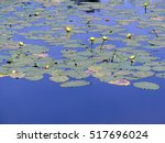 Water Lilies In New Engand...