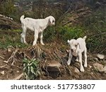 Newborn White Goats In Wild...