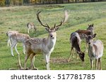 Fallow Deer With Cubs On A...