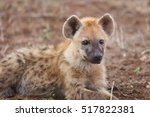 the spotted hyena  crocuta... | Shutterstock . vector #517822381