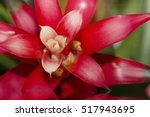 Aechmea Fasciata Bromeliad On...