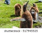 Several Chicks King Penguins ...