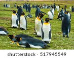 Group Of King Penguins ...