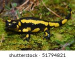 A pregnant female fire salamander in the Spanish Pyrenees Mountains - stock photo