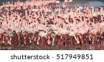 group of lesser flamingos ... | Shutterstock . vector #517949851