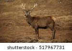 Wild Red Deer Stag In The...