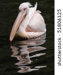 Close-up view of a Great White Pelican - stock photo