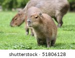 Young Capybara is sitting in front of his mother - stock photo
