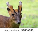 Portrait of a Chinese Muntjac - stock photo