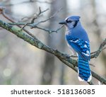 A Blue Jay Perched On Tree...