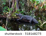 Alligator At Everglades...