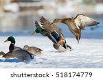 Mallard Duck In Flight In...