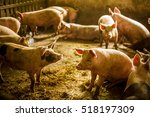 pigs on a farm | Shutterstock . vector #518197309