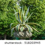 Small photo of Agave americana, common names sentry plant, century plant, maguey, or American aloe grows in a Moscow Park in a flowerpot
