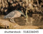 Striated Heron Also Known As...