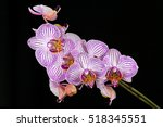 close up of white pink orchid... | Shutterstock . vector #518345551