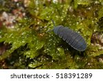 Small photo of A large springtail walking on a moss. Largest species of Collembola in Central Europe.