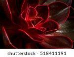 close up of succulent echeveria.... | Shutterstock . vector #518411191
