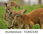 Two Kangaroos Sharing A Clover...
